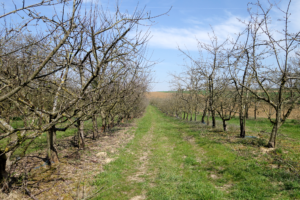 apple trees at the avadis orchard